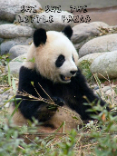 Shi Shi The Little Panda